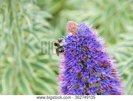 One Bumble Bee Collecting Pollen From Echium Candicans, Commonly Known As Pride Of Madeira, Flowers.