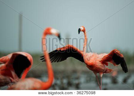 Flamingo (phoenicopterus Ruber)