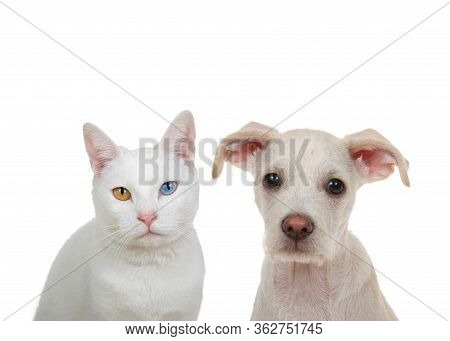 Close Up Portrait Of A White Cat With Heterochromia, Odd Eyes, Looking Directly At Viewer With Inten