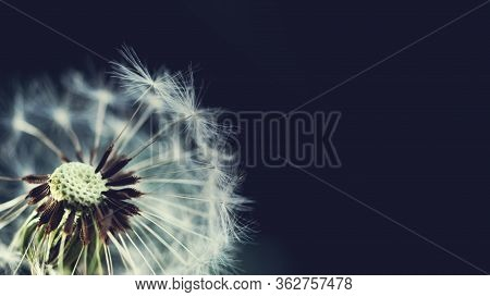 Dandelion At Blue Background. Freedom To Wish. Dandelion Silhouette Fluffy Flower On Sky. Seed Macro