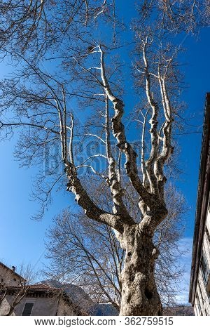 Closeup Of Leafless Plane Trees (platanus) In The City In Winter On A Clear Blue Sky. Trento City, T