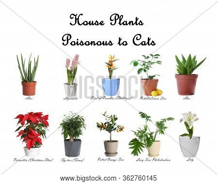 Set Of House Plants Poisonous To Cats On White Background