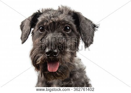 Portraiture Joyful Puppy Purebred Toy Poodle Puppy On White Background.