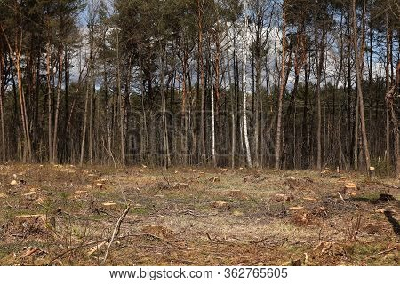 Freshly Illegal Cutted Pine Wood Stumps In The Pine Forest, Conceptual Image Of Deforestation. Tree
