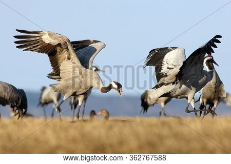 The Common Crane (grus Grus), Also Known As The Eurasian Crane. Crane Standing In Yellow Grass. Danc