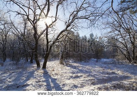 Winter In A Snowy Forest On A Bright Sunny Day. Snowy Oak Grove In The Sun. Winter Nature. Location: