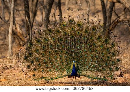 Peafowl Or Male Peacock Dancing With Full Colorful Wingspan To Attracts Female Partners For Mating A