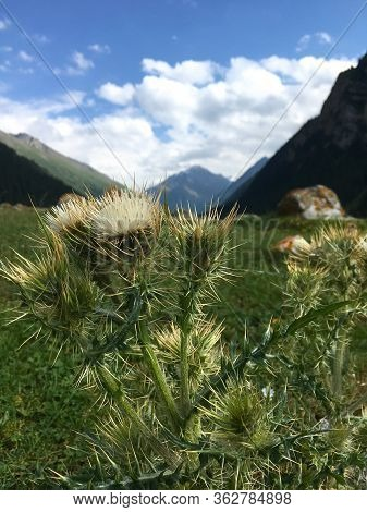 Spiny Flower On A Background Of Green Mountain Landscape And Blue Sky. Large Clan Side View. Poster