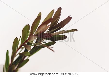 Green Branches On White Background With Copy Space. Unusual Creative Stem With Leaves. Home Decor. L