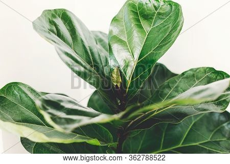 Fresh New Green Leaves Growing From Ficus Lyrata Fig Tree, Close Up. Beautiful Fiddle Leaf Tree Leav