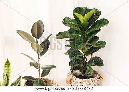 Ficus , Fiddle Leaf Fig Tree, Snake Sansevieria Plants In Pots On Sunny White Background. Houseplant