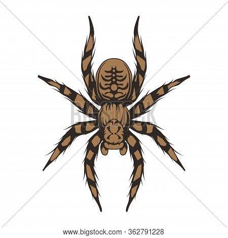 Tarantula. Animalia, Arthropoda, Chelicerata, Arachnida, Araneae, Mygalomorphae Vector. Sketch Taran