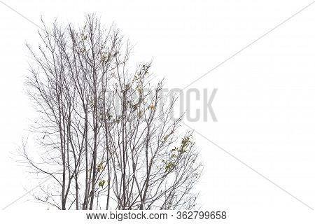 Leafless Trees With Branches On White Isolated Background With Copy Space