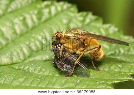 Feeding Dung-Fly