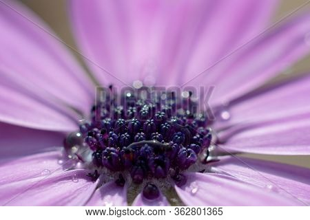 Close Up Of The Stigma Of A Purple African Daisy Flower. The Stigma Is Beginning To Open Up And Show