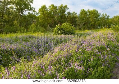 Summer In The Deciduous Forest. Flower Meadow Of Wild Flowers Among Green Trees.  Forest Steppe Land