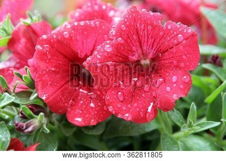 Flower After Rain. Flower With Raindrops. Flower On The Rain.