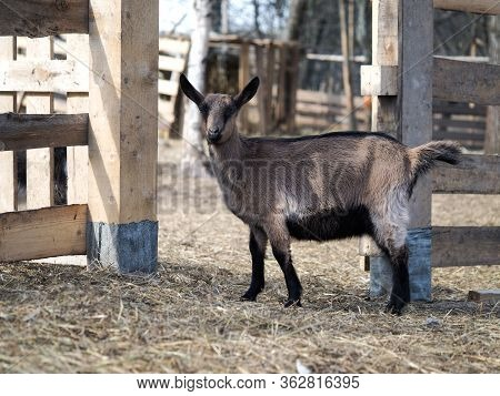 Young Goat On The Ranch. Czech Breed Goat