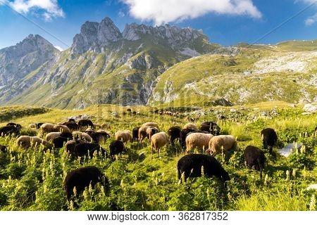 herd of sheep near Mangart, Triglav national park, Slovenia