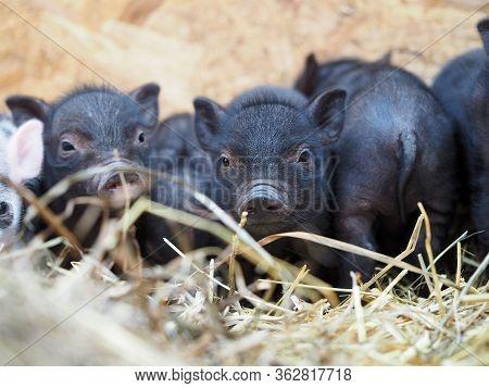 Cute Piglets In A Pile Of Straw