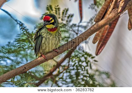 Beautiful Small Bird Coppersmith Barbet Perched On A Tree Branch