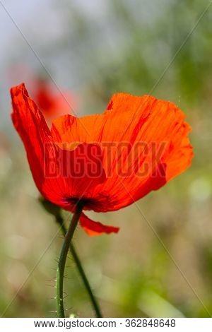Red Poppy Flower In Backlit In Sommer