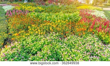 Garden Of Pink Wishbone Flower, Red Wool Flowers, Yellow Cosmos And Colorful Flowering Plant Bloomin