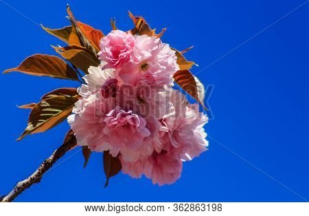 A Light Spring Breeze Sways A Branch Of Blooming Sakura Against The Blue Sky.