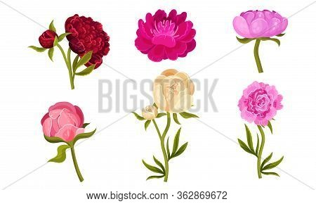 Colorful Peony Flower Buds On Green Stems With Showy Petals Vector Set