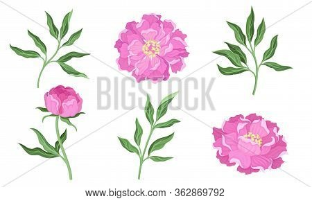 Peony Flowering Plant With Leaves And Showy Petals Vector Set