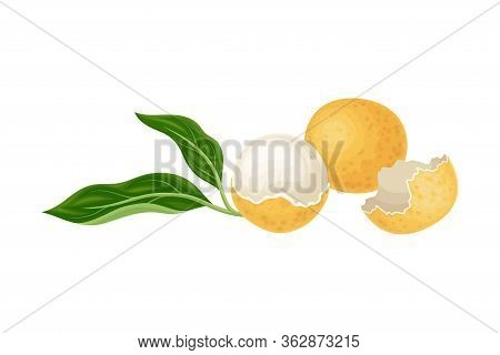 Longan Exotic Circular Fruit With Thin Leathery Peel And Translucent Flesh Vector Illustration