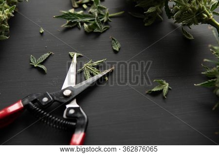 Mans Hands Trimming Marijuana Bud. Growers Trim Their Pot Buds Before Drying.