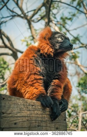 Red Ruffed Lemur (varecia Rubra) With Striking Black And Red Colors Resting On A Log.