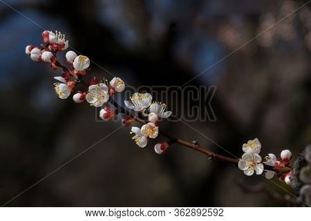 Delicate Fresh Flowers Of A Blossoming Apricot Tree With Soft Focus In The Light Of The Sun.