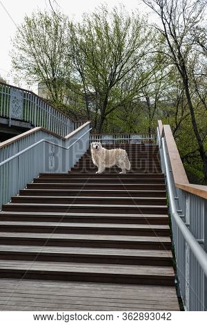 Pedigreed Golden Retriever On A Walk In The Park Stands On Stairs And Looks Into The Distance. Photo