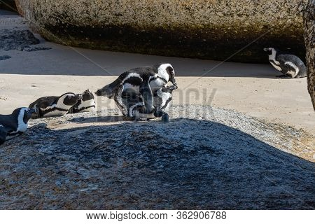 African Penguin Or Jackass Penguine During Mating At Boulders Beach, Simonstown, South Africa