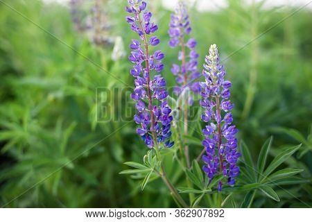 Lupinus, Lupin, Lupine Field With Pink Purple And Blue Flowers. Bunch Of Lupines Summer Flower Backg