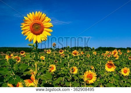 Helianthus Annuus, The Common Sunflower, Is A Large Annual Forb Of The Genus Helianthus Grown As A C