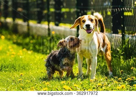 Cute Yorkshire Terrier Dog Running With Beagle Dog On Gras On Sunny Day. To Dogs Smal And Medium Pla