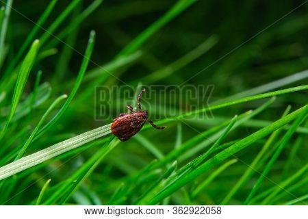 Tick At The Tips Of Plants Ready To Grab Onto The Victim