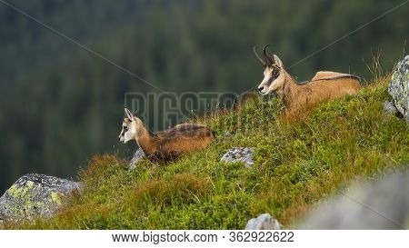 Relaxed Young Tatra Chamois Lying Down On Edge Of Hillside With Mother