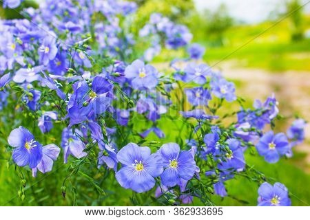 Wild Flax Flowers . Flax Flowers Border. Beautiful Nature Scene With Blooming Flax Flowers In Sun Fl