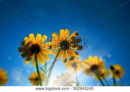low angle close up view of yellow daisy flowers over sunny blue sky