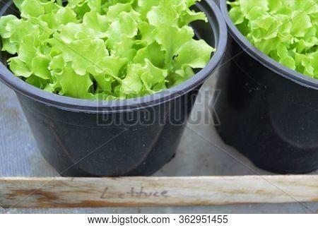Green Lettuce Plants Growing In Black Pot