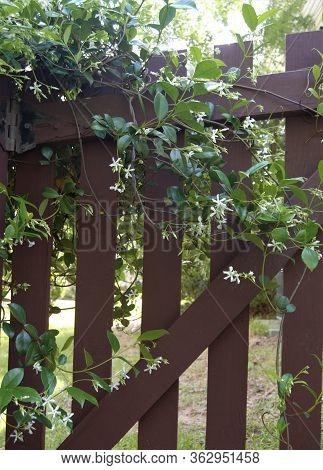 Confederate Jasmine Ivy Growing On Red Gate Door