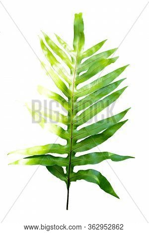 Image Of Fern Green Leaves On White Background.