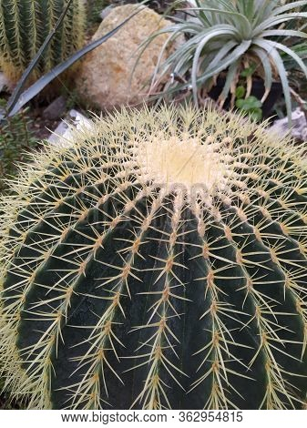 Cactus In Desert Botanical Garden Green Group
