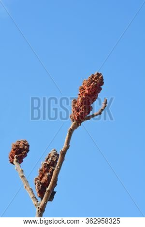 Staghorn Sumac Flower - Latin Name - Rhus Typhina