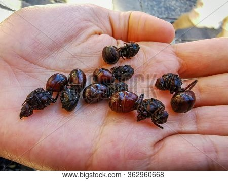 Edible Ant Traditional From Santander Region Of Colombia Called Hormiga Culona Which Literally Trans