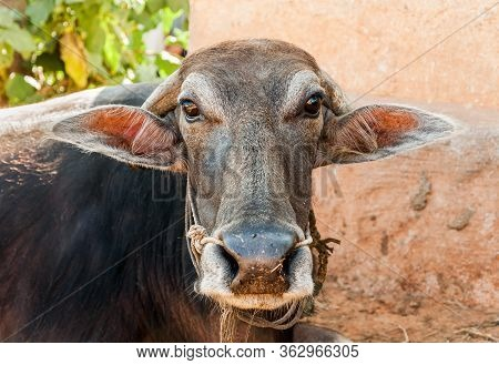 Indian Brown Cow Portrait In Small Indian Village.